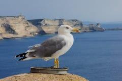 Seagull, Bonifacio Royalty Free Stock Image