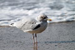 Seagull on Borkum. Borkum is an island in the German North Sea royalty free stock photography