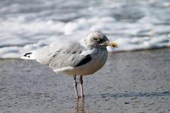 Seagull on Borkum. Borkum is an island in the German North Sea royalty free stock image