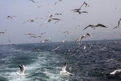 seagull bosphorus Στοκ φωτογραφίες με δικαίωμα ελεύθερης χρήσης