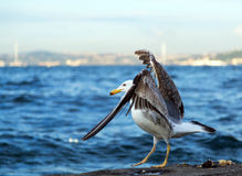Seagull bosphorus Stock Photography
