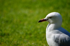 Seagull. A seagull in the botanic garden of Melbourne Stock Images
