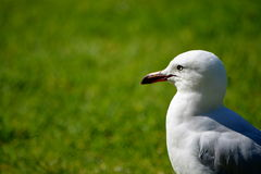 Seagull. A seagull in the botanic garden of Melbourne Royalty Free Stock Photo