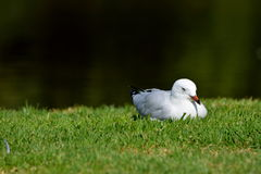 Seagull. A seagull in the botanic garden of Melbourne Stock Photography