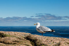 Seagull on Boulders Royalty Free Stock Photography