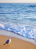 Seagull Breakfast. A Palm Beach seagull waits for breakfast to arrive at sunrise Royalty Free Stock Photos