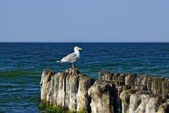 Seagull on the breakwater Stock Photo