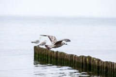 Seagull on the breakwater Royalty Free Stock Image