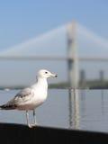 Seagull & Bridge 1a Stock Images