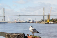 Seagull with Bridge in Background. Industry beneath susnpension bridge on the Savannah River Royalty Free Stock Image