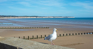 Seagull at Bridlington Stock Photo