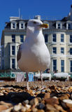 Seagull on Brighton Beach. Single seagull looking out to sea on Brighton Beach, UK royalty free stock photography