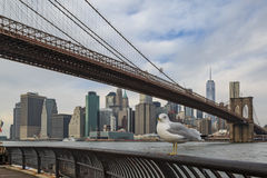 Seagull and brooklyn bridge in new york city. Seagull in the main street park with brooklyn bridge and lower manhattan view Stock Image