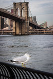 Seagull at  Brooklyn Bridge Park Stock Photo