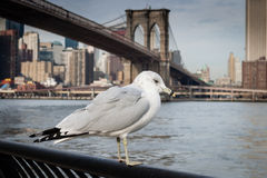 Seagull at  Brooklyn Bridge Park Royalty Free Stock Photos