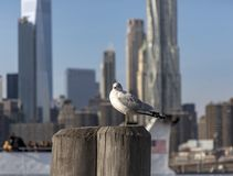 Seagull in Brooklyn Bridge Park. With blurred Manhattan skyline on the background Stock Image