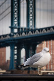 Seagull at  Brooklyn Bridge Park Royalty Free Stock Photography
