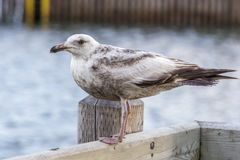 Seagull with brown markings Stock Photo