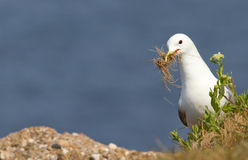 A seagull is building. A nest Stock Photos