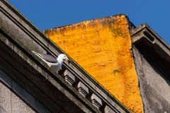 Seagull on building Royalty Free Stock Photos