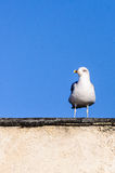 Seagull building watch Royalty Free Stock Photo