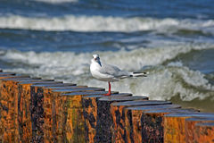 Seagull on the bulwark Stock Images