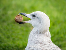 Seagull with buscuit in his beak. Seagull, herring gull in profile catches a biscuit in his beak. His beak and mouth are open Stock Images