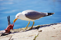 Seagull c. Seagull eating in an asturia port Royalty Free Stock Photos