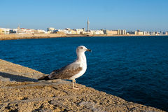Seagull in Cadiz Stock Photos