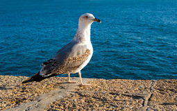 Seagull in Cadiz Stock Photo
