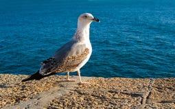 Seagull in Cadiz Stock Photo