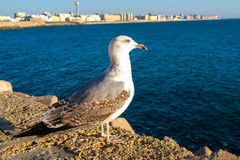 Seagull in Cadiz Royalty Free Stock Images