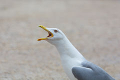 Seagull Calling Royalty Free Stock Images