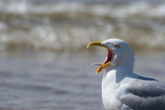 Seagull calling with tongue showing Royalty Free Stock Images