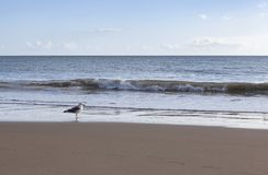 A seagull on a calm beach with blue sky and white clouds in the background stock images