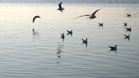 Seagull and Calm Sea Water and birds stock video