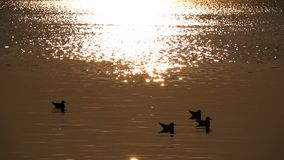 Seagull and Calm Sea Water and birds stock video footage