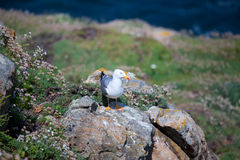 Seagull in Camariñas Royalty Free Stock Images