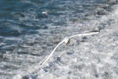 Seagull in Camogli. Seagull flying over the waves of Camogli in Genoa Stock Photos