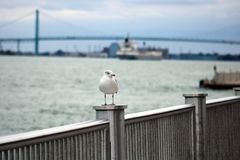 Seagull with Canada to USA bridge in background Stock Photo