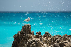 Seagull in Cancun. Seagull on the rocks in Mexico Stock Photography