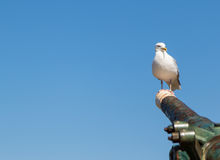 Seagull on canon in Whitby Harbour. Seagull perched on canon in Whitby harbour Stock Images