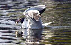 Seagull with captured fish Fordingbridge. Seagull at Fordingbridge on the River Avon Royalty Free Stock Image