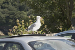 Seagull on car Stock Images