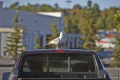 Seagull on a car roof Stock Photography