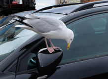 Seagull and car wing mirror. Stock Image