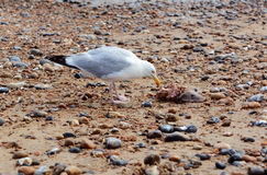 Seagull with the carcass of a smooth dogfish Royalty Free Stock Images