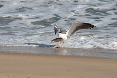 Seagull carrying its pray Royalty Free Stock Photos