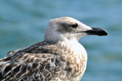 Seagull. Caspian Gull juvenile plumage, perched on a buoy port of Barcelona Stock Image