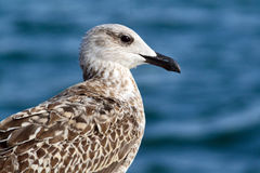Seagull. Caspian Gull juvenile plumage, perched on a buoy port of Barcelona Royalty Free Stock Image